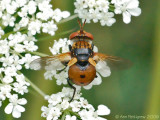 Tachinid Fly (Gymnosoma sp.)