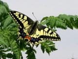 Swallowtail.