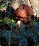 Gyromitra esculenta-False Morel