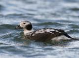Long-tailed Duck1.jpg