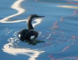 Black-throated Diver.jpg