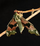 Lime hawkmoth.