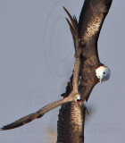 Magnificent Frigatebird - interspecific – Kleptoparasitism
