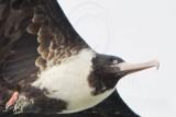 Pink-billed  Frigatebird  - Upper Texas Coast  2008