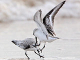 Sanderling Fight UTC