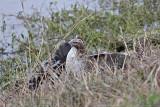 _MG_4542 Red-tailed Hawk taking Mallard.jpg