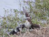 _MG_4607 Red-tailed Hawk taking Mallard.jpg