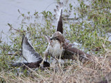 _MG_4612 Red-tailed Hawk taking Mallard.jpg