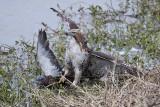 _MG_4618 Red-tailed Hawk taking Mallard.jpg