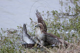 _MG_4620 Red-tailed Hawk taking Mallard.jpg
