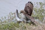 _MG_4638 Red-tailed Hawk taking Mallard.jpg
