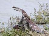 _MG_4644 Red-tailed Hawk taking Mallard.jpg