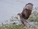 _MG_4645 Red-tailed Hawk taking Mallard.jpg