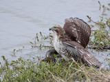 _MG_4648 Red-tailed Hawk taking Mallard.jpg