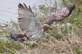 _MG_4779 Red-tailed Hawk taking Mallard.jpg