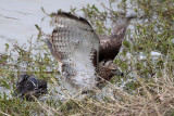 _MG_4780 Red-tailed Hawk taking Mallard.jpg