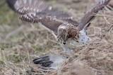 _MG_5250 Red-tailed Hawk taking Mallard.jpg