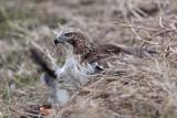 _MG_5255 Red-tailed Hawk taking Mallard.jpg