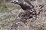 _MG_5261 Red-tailed Hawk taking Mallard.jpg