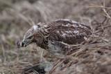 _MG_5360 Red-tailed Hawk taking Mallard.jpg
