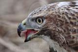 _MG_5516crop Red-tailed Hawk taking Mallard.jpg