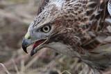_MG_5534 Red-tailed Hawk taking Mallard.jpg
