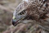 _MG_5595 Red-tailed Hawk taking Mallard.jpg