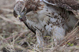 _MG_5601 Red-tailed Hawk taking Mallard.jpg