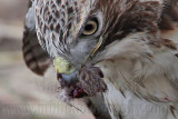 _MG_5601crop Red-tailed Hawk taking Mallard.jpg
