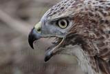 _MG_5655 Red-tailed Hawk taking Mallard.jpg