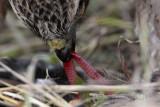 _MG_5683crop Red-tailed Hawk taking Mallard.jpg