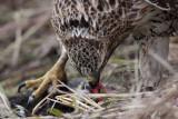 _MG_5685 Red-tailed Hawk taking Mallard.jpg