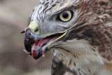 _MG_5714 Red-tailed Hawk taking Mallard.jpg