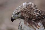 _MG_5749 Red-tailed Hawk.jpg