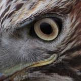 _MG_5749crop2 Red-tailed Hawk.jpg