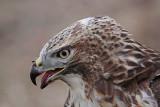 _MG_5761 Red-tailed Hawk.jpg