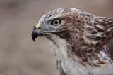 _MG_5777 Red-tailed Hawk.jpg