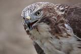 _MG_5781 Red-tailed Hawk.jpg