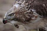 _MG_5805 Red-tailed Hawk.jpg