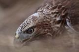 _MG_5813 Red-tailed Hawk.jpg