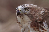 _MG_5818 Red-tailed Hawk.jpg