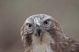 _MG_5831 Red-tailed Hawk.jpg