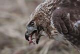 _MG_5863 Red-tailed Hawk taking Mallard.jpg