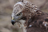 _MG_5929 Red-tailed Hawk taking Mallard.jpg