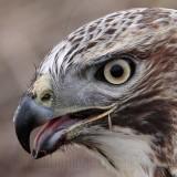 _MG_6114crop Red-tailed Hawk taking Mallard.jpg