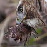_MG_6145crop Red-tailed Hawk taking Mallard.jpg