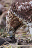 _MG_6163 Red-tailed Hawk taking Mallard.jpg