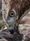 _MG_6163crop Red-tailed Hawk taking Mallard.jpg