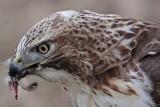 _MG_6184 Red-tailed Hawk taking Mallard.jpg