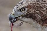_MG_6186 Red-tailed Hawk taking Mallard.jpg